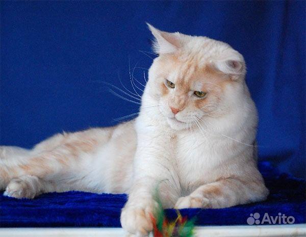 Яркие котята-мейн кун. Воронежская область,  Воронеж