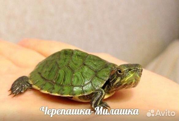 Морские красноухие черепахи в домашних условиях - Barsa4u