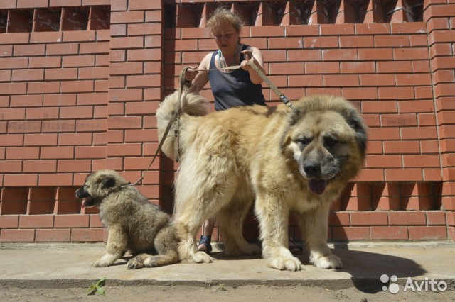 Питомник амбер амулет предлагает щенков кавказской овчарки для разведения, выставок, охраны и просто для души