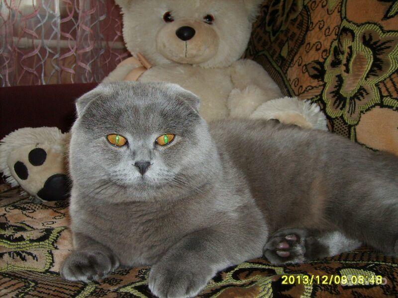 Котик-шотландец