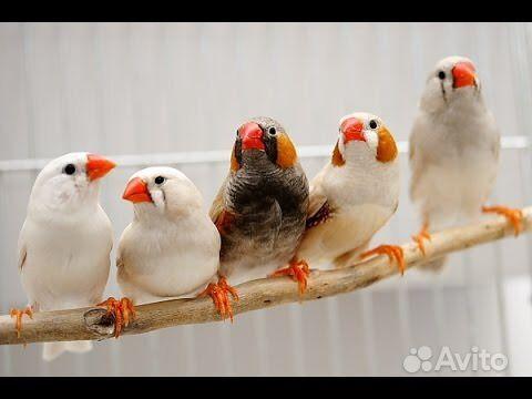 Попугаи молодые, джунгарские хомяки, амадины в Джанкое - фотография № 4