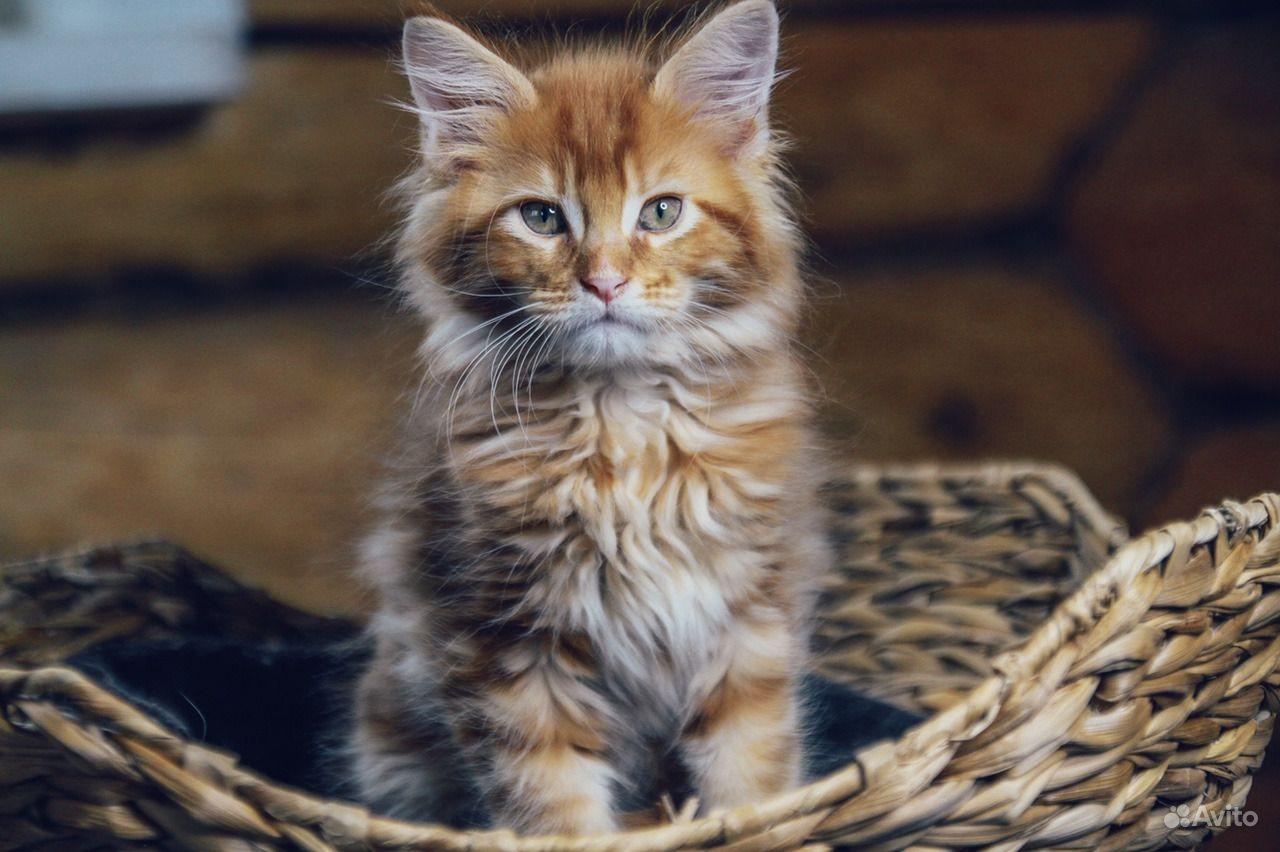 Солнечный котенок мейн-кун в Москве - фотография № 6
