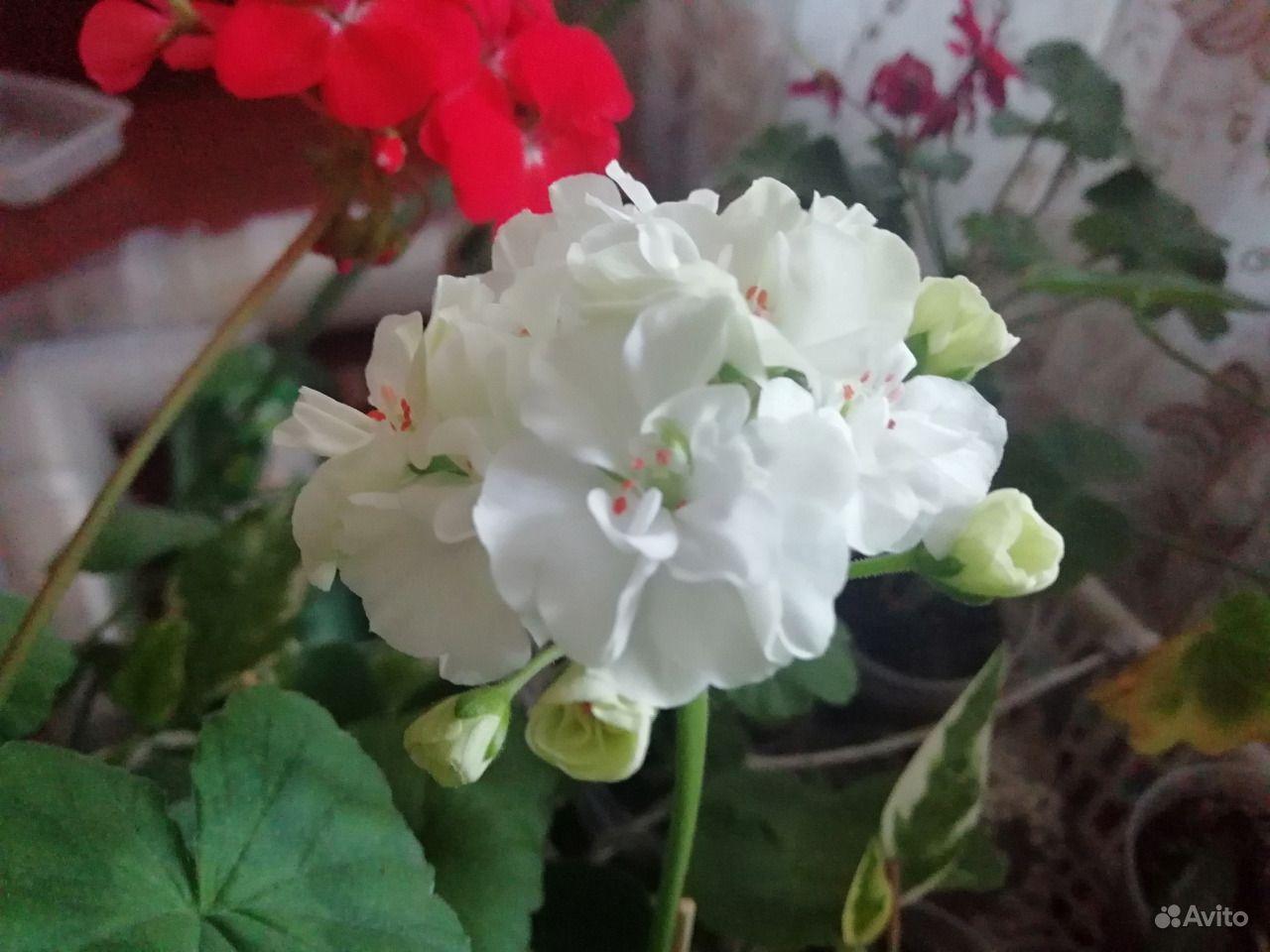 Герань белая, розовая, красная, малиновая купить на Зозу.ру - фотография № 2