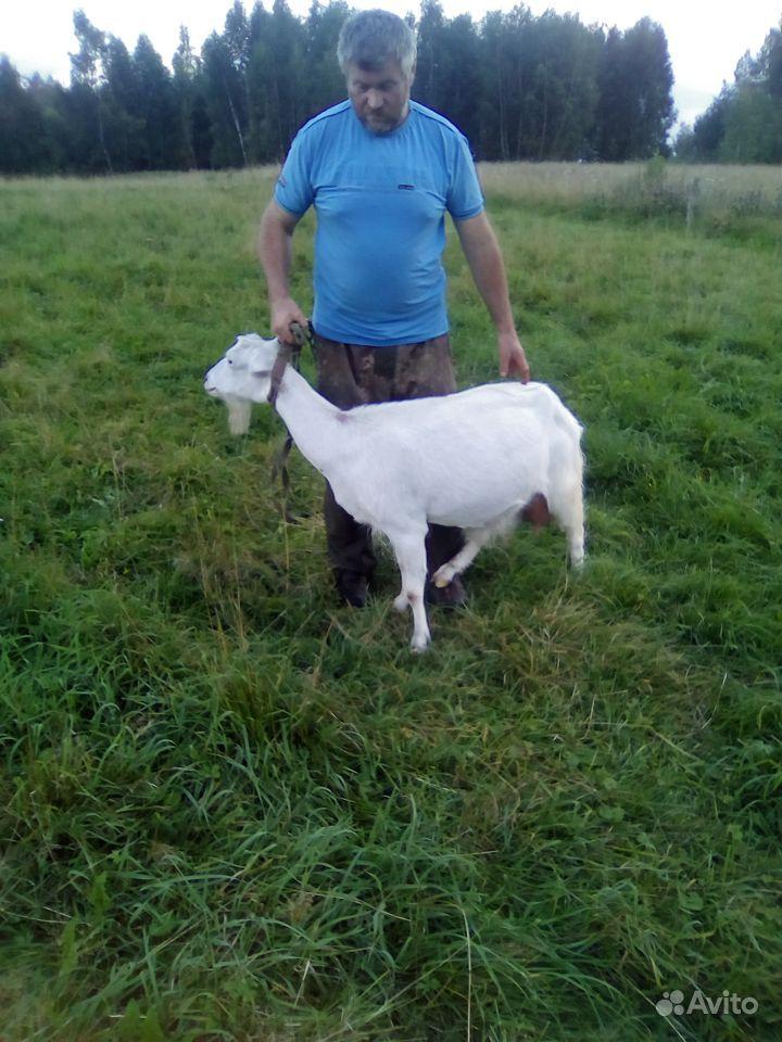 Зайнинская коза