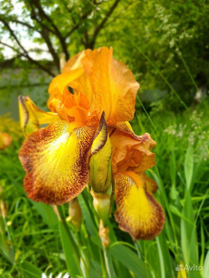 Цветы садовые купить на Зозу.ру - фотография № 8