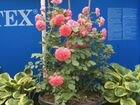 Розы Розариум Ютерсен в контейнерах 46 литров