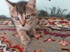 Котенок (кот)
