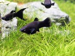 Моллионезия черная