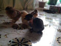 Цыплята мясояичных пород