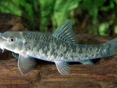Аквариумные рыбки гарра руффа