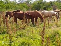 Лошадь жеребцы кабылы