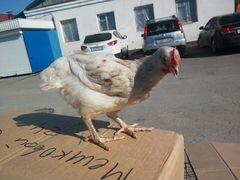Цыплята куры
