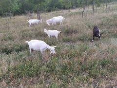 Продается коза с козленком, и козел