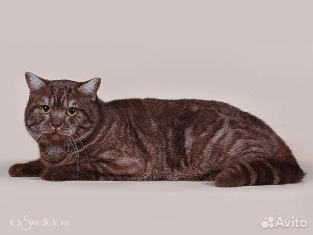Авито кот британец на вязку