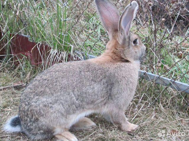 Кролик 89122289333 купить 1