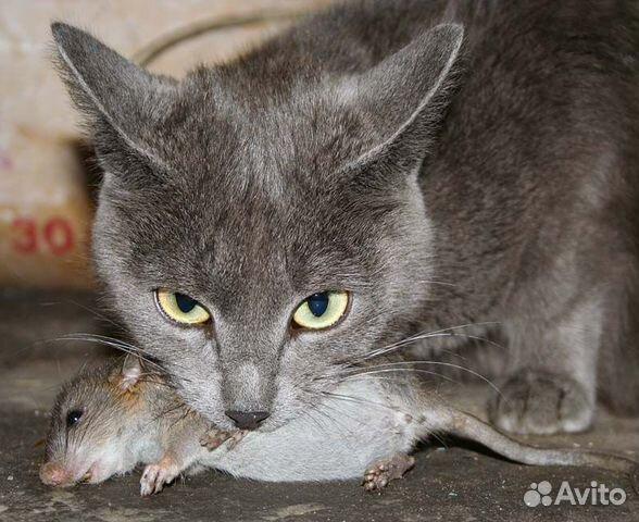Возьму крысыловку крысылова в сарай