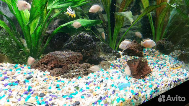 Аквариумные. рыбы (цихлиды)