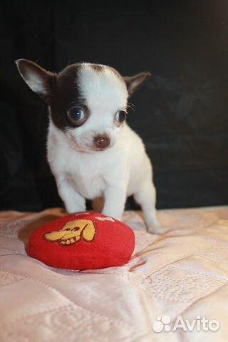 Чихуахуа щенки мини купить на Зозу.ру - фотография № 1