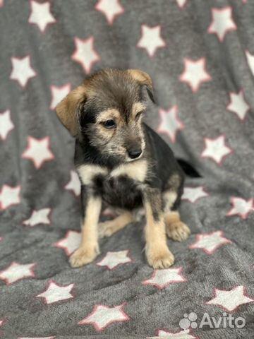 Ксолоитцкуинтли (пух ) мексиканская голая собака купить на Зозу.ру - фотография № 8