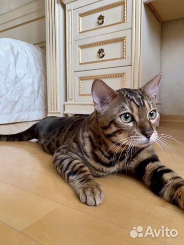 Бенгальский котик вязка  купить 7