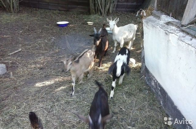 Goats and kids 89525959947 buy 6
