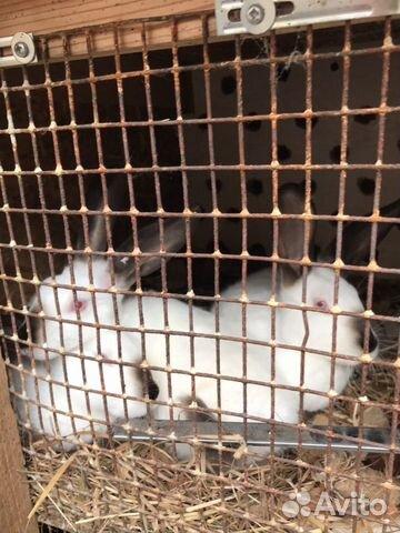 Кролик  89535421950 купить 5