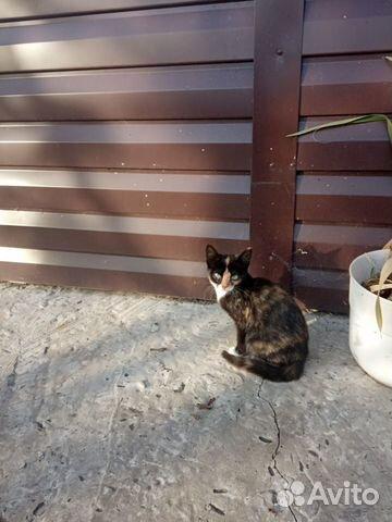 Вислоухий котенок  89237531843 купить 3