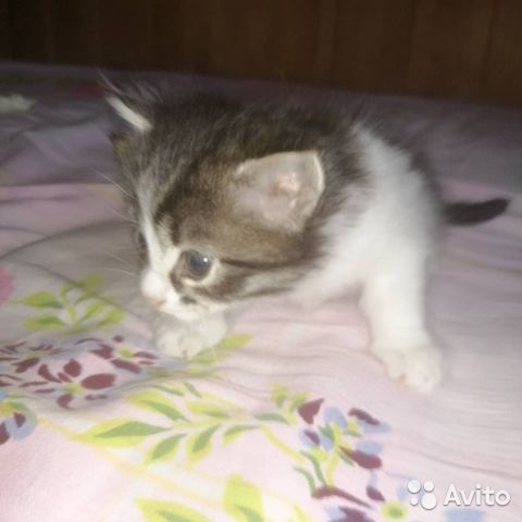 Кошка  89148760418 купить 6