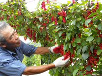 Лианы - виноград девичий и лимонник китайский