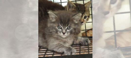 Шпунтики котята купить в Санкт-Петербурге   Животные и зоотовары   Авито