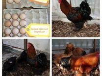Фазаны Индоутки Петухи Яйцо брама инкубационное
