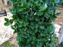 Касетная рассада клубники Джоли, Альба — Растения в Великовечном
