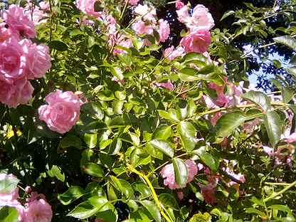 Роза плетистая и жасмин