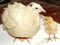 Живые перепела и яйцо