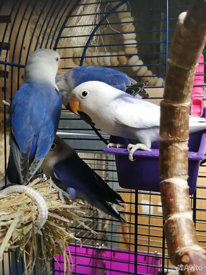 Попугаи Неразлучники фишеры синего окраса