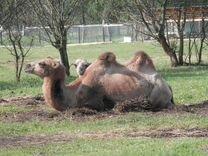 Продается верблюд