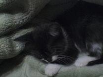 Котенок от кошки крысоловки