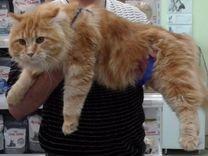 Котята мейн кун 1месяц