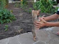 Красивые щенки чихуашки