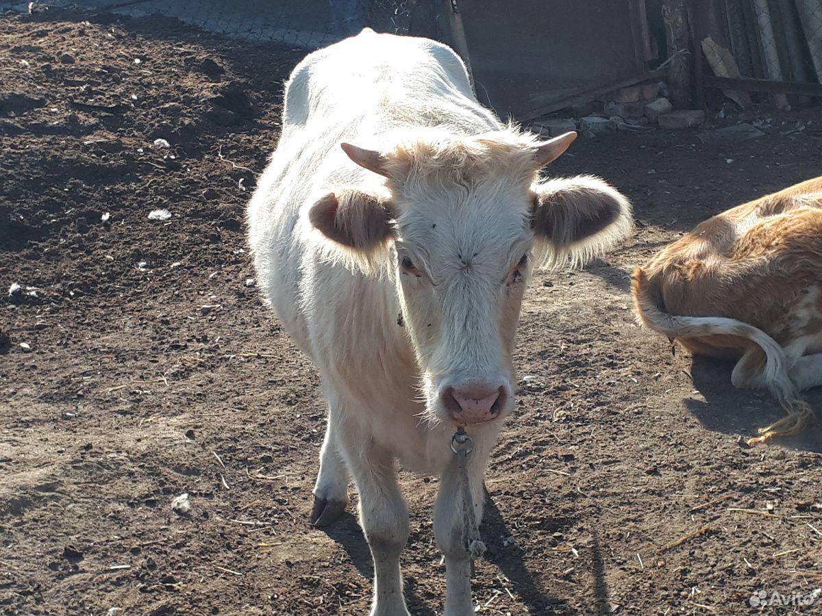 Корова  89640631560 купить 2