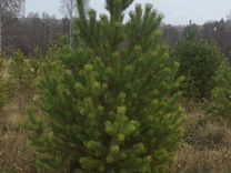 Отборные елки (сосны) — Растения в Екатеринбурге